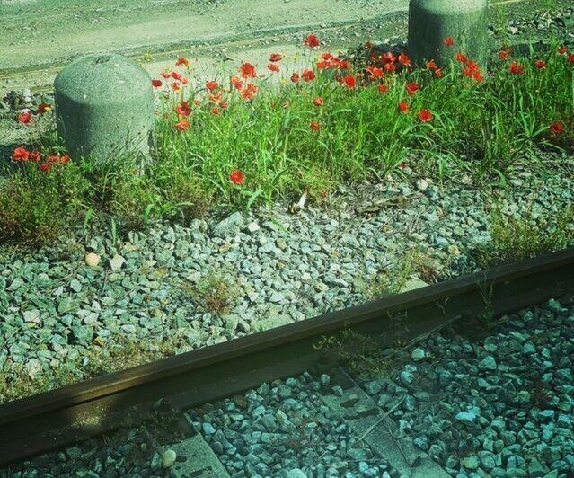 Gorgeous red poppies along the train track in Italy - ouritalianjourney.com