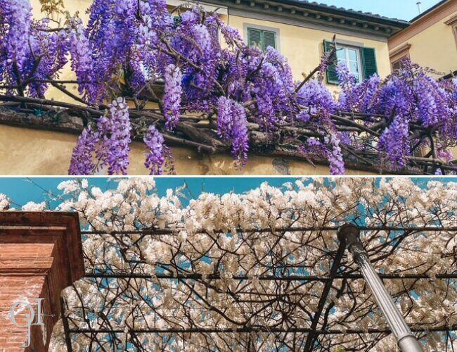 Magnificent wisteria in Lucca, Italy - ouritalianjourney.com